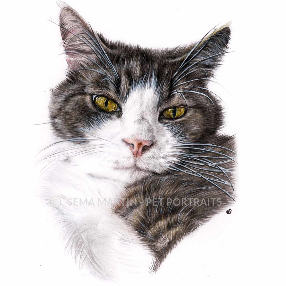 'Ollie' - Australia, 8.3 x 11.7 inches, 2018, colour pencil cat pet portrait by artist sema martin