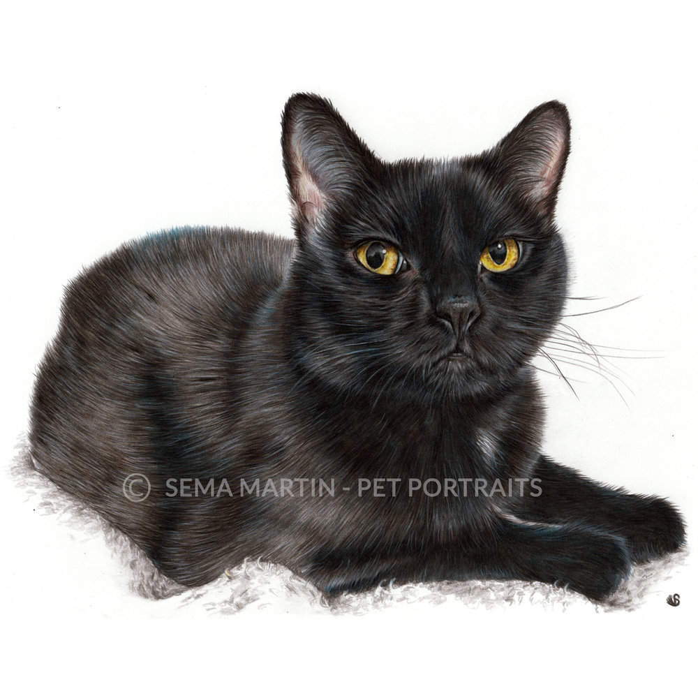 'Cammy' - USA, 8.3 x 11.7 inches, 2018, Colour Pencil Black Cat Portrait by Sema Martin