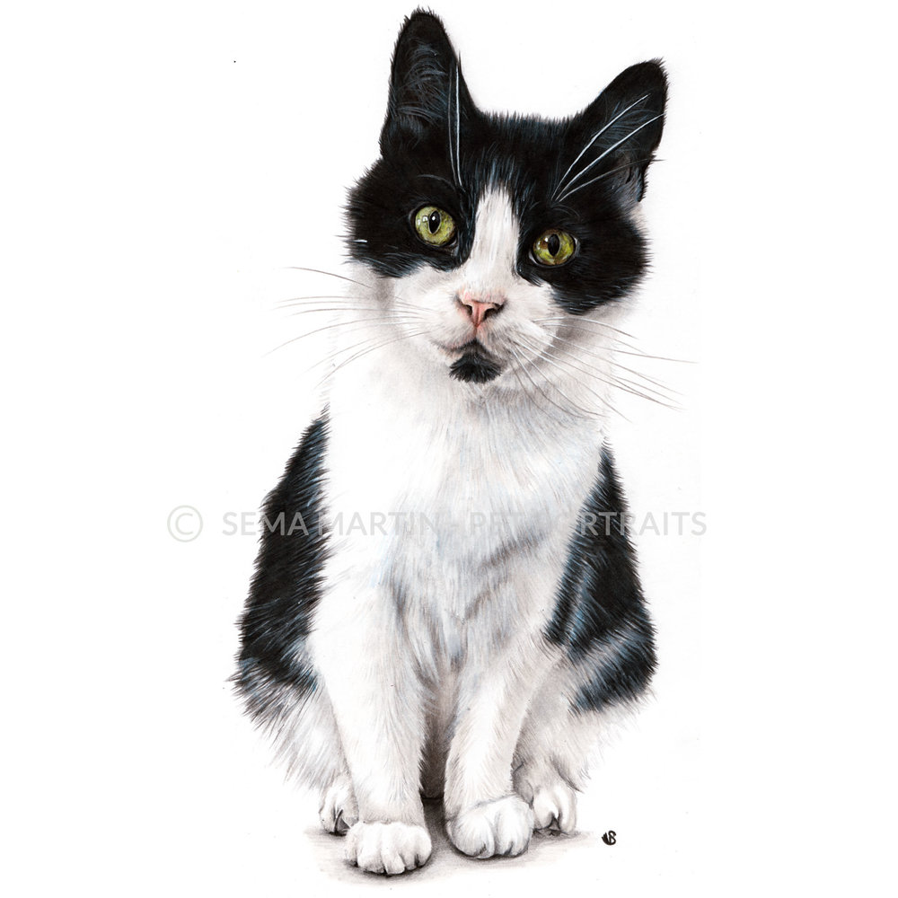 'Poppet' - UK, 8.3 x 11.7 inches, 2018, Colour Pencil Tuxedo Cat Portrait by Sema Martin
