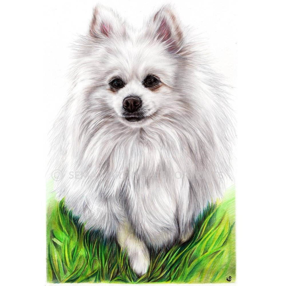 'Casper' - UK, 11.7 x 16.5 inches, 2019, Colour Pencil Pomeranian Portrait