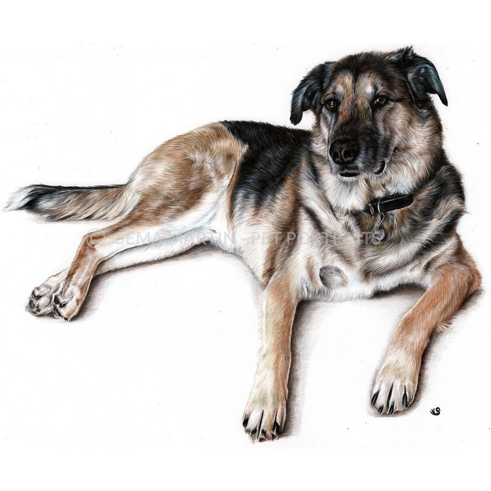 'Taz' - USA, 11.7 x 16.5 inches, 2019, Colour Pencil & Pan Pastel German Shephard Portrait
