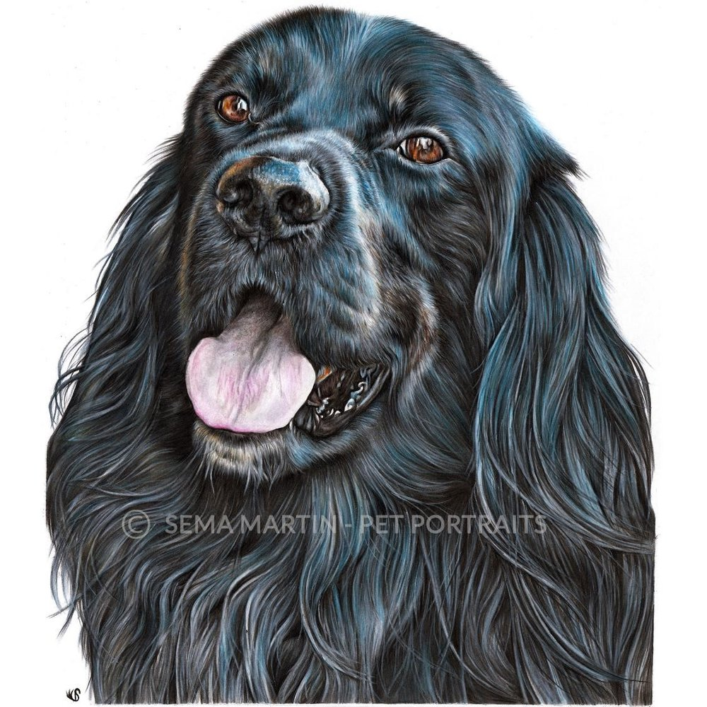 'Richo' - Norway, 11.7 x 16.5 inches, 2019, Border Collie and Setter Mix Colour Pencil Portrait
