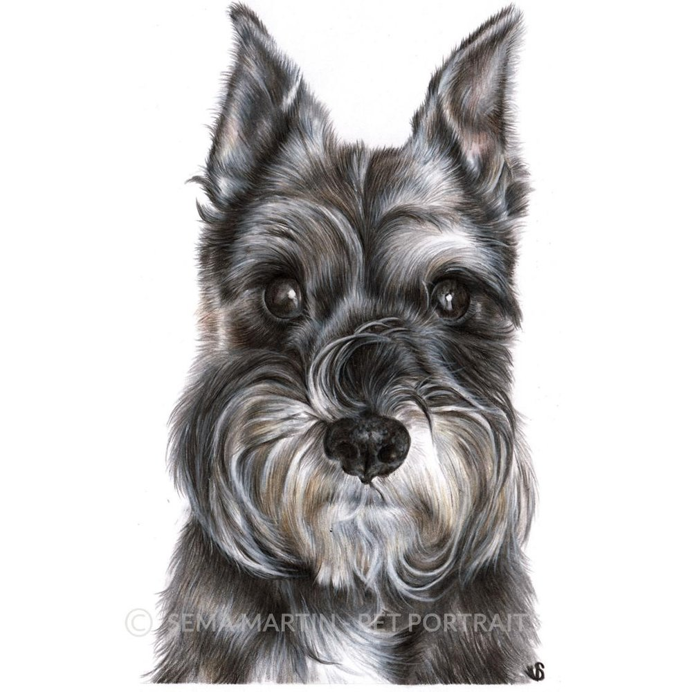 'Lucy' - USA, 5.8 x 8.3 inches, 2019, Colour Pencil Schnauzer portrait