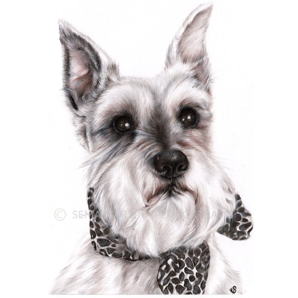 'Dezi' - USA, 5.8 x 8.3 inches, 2019, Colour Pencil Schnauzer portrait