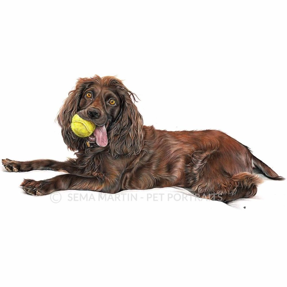'Reese' - USA, 16.5 x 23.4 inches, 2018, Color Pencil Pet Portrait of a Boykin Spaniel with a tennis ball