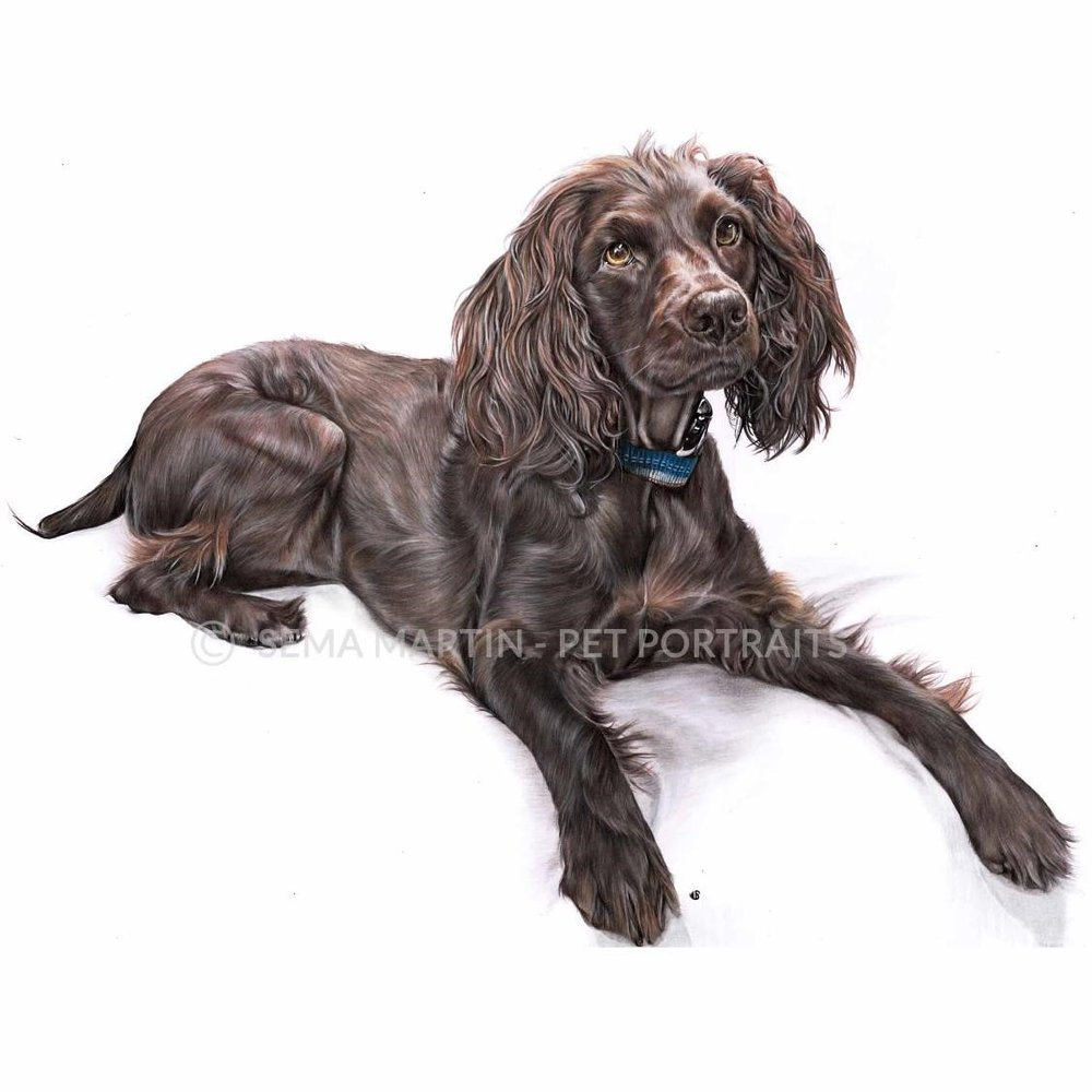 'River' - USA, 16.5 x 23.4 inches, 2018, Color Pencil Pet Portrait of a Boykin Spaniel