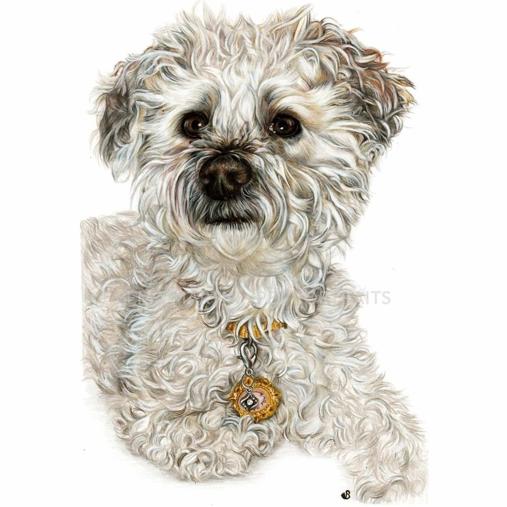 'Zoe' - Canada, 8.3 x 11.7 inches, 2018, colour pencil pet portrait of Zoe the Yorkie Poodle by Sema Martin