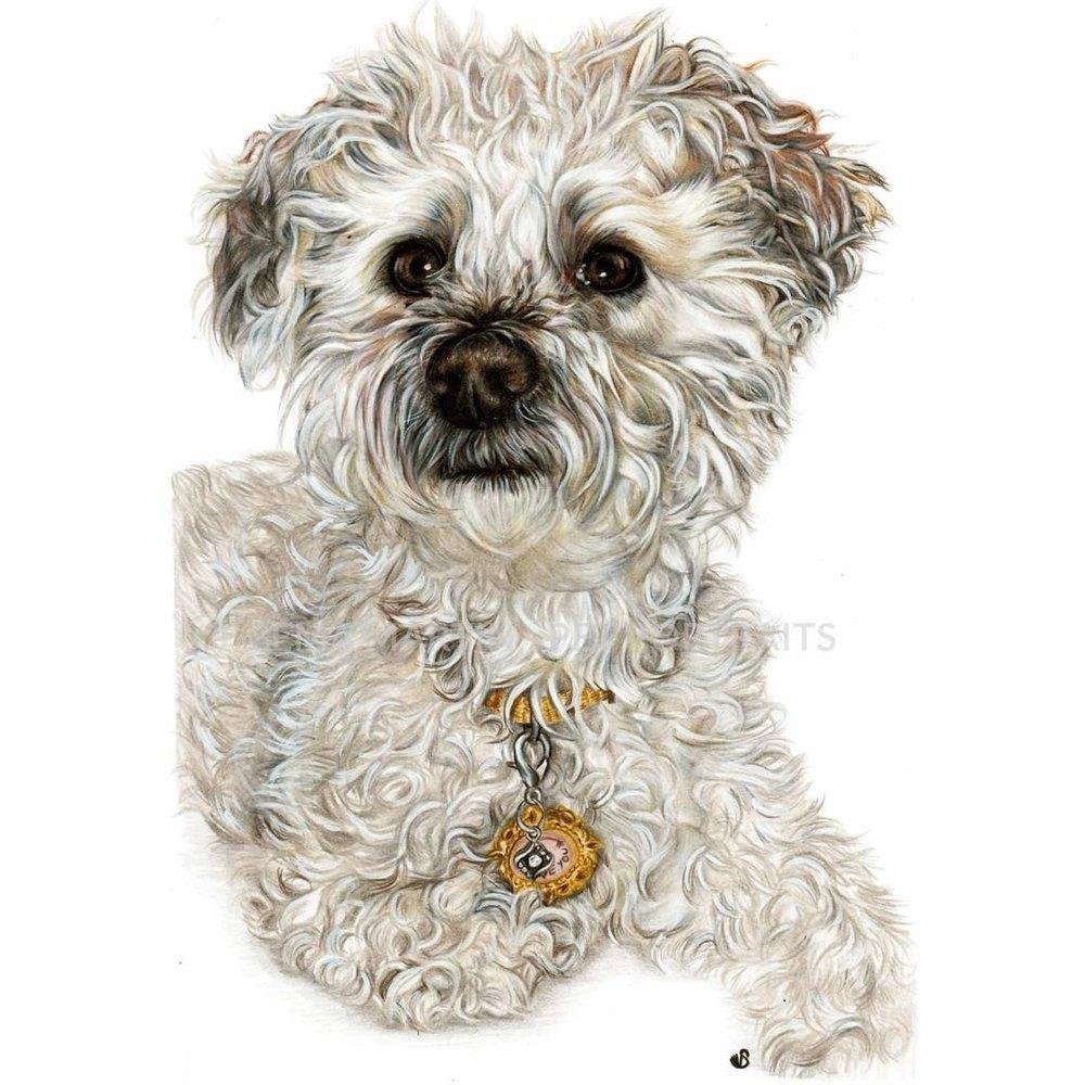 'Zoe' - Canada, 8.3 x 11.7 inches, 2018, colour pencil pet portrait of Zoe the Yorkie Poodle by Sema Martin