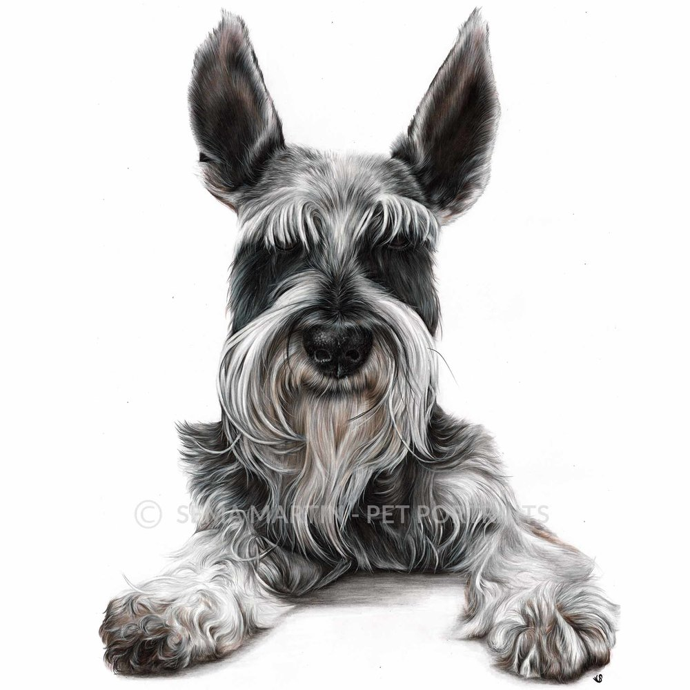 'Oreo' - USA, 16.5 x 23.4 inches, 2019, Color Pencil Portrait of a Schnauzer