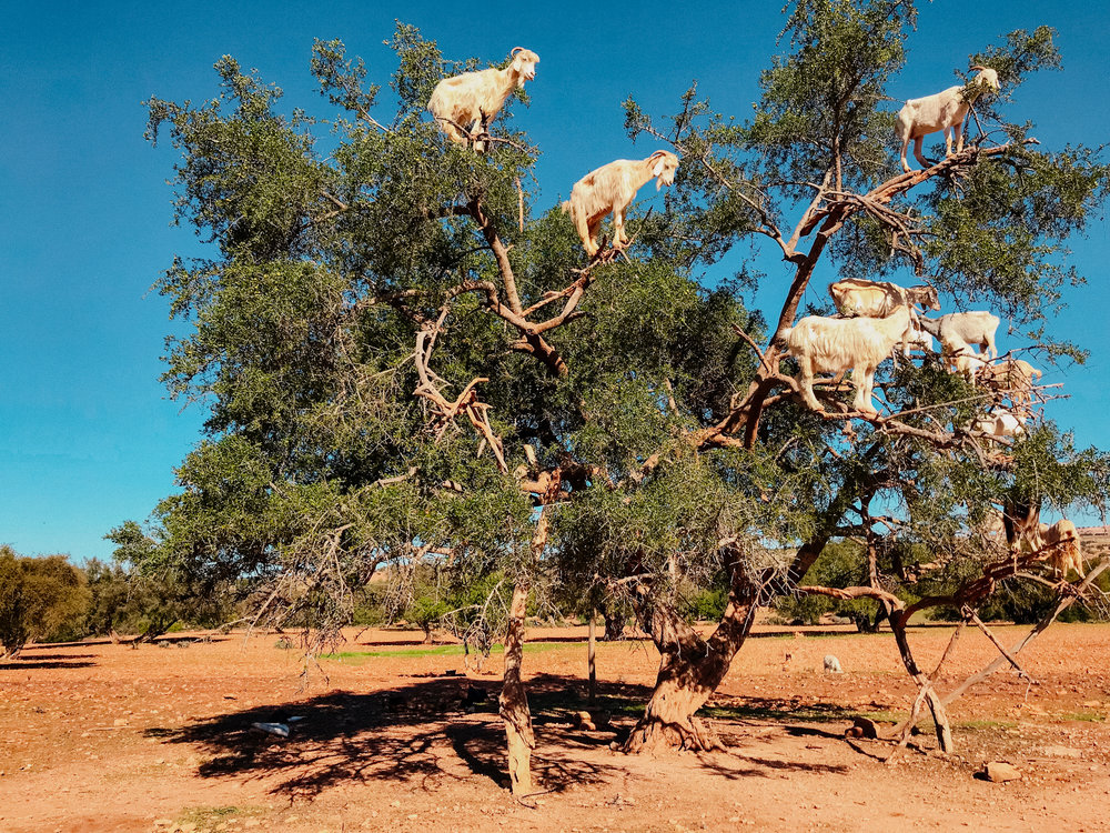 goats in trees!