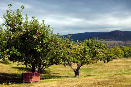 red delicious spartan apple container bins harvest