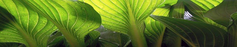 luminous leaves-wide.jpg