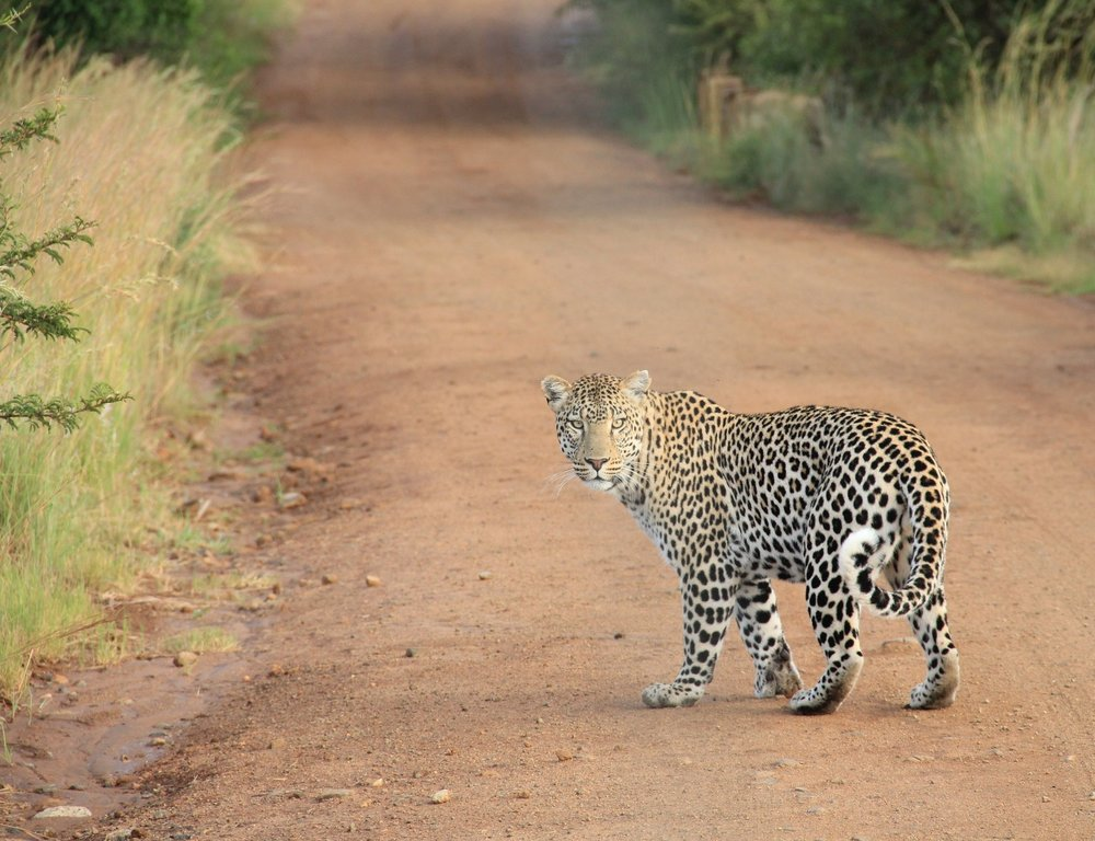 leopard on path.jpg