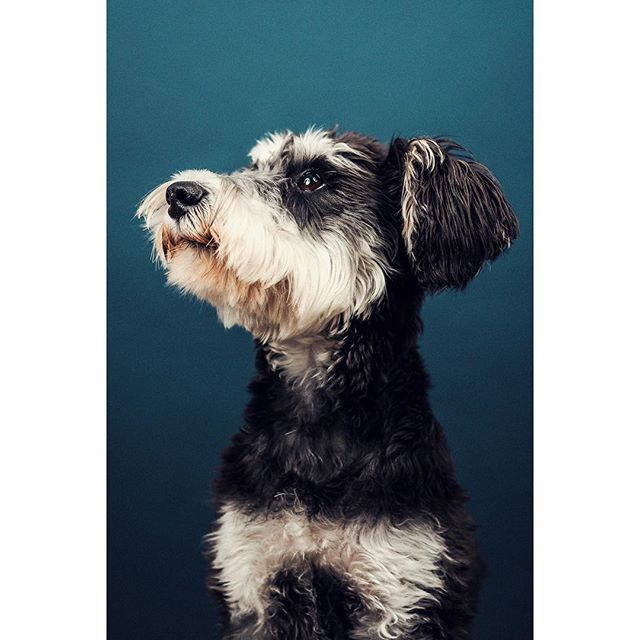 This is wonderful lady Poncho who came to my studio recently. What a gem. @taco_and_poncho @clmednick - - - - - #dogsofinstagram #dog #dogportrait #dogphotography #photooftheday #portrait #portraitphotography #portrait_vision #schnauzer #schnauzersofinstagram #schnauzerpuppy #lightroom #pixapro #photoshop #tethertools #nikon