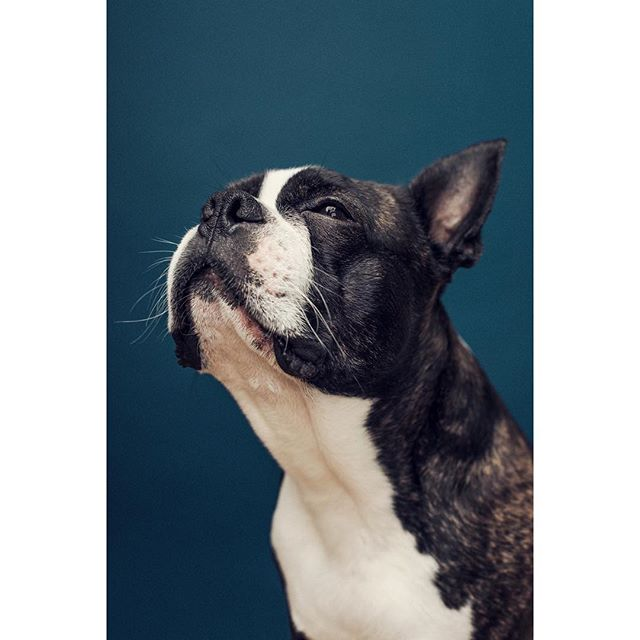 @bruno.theboston showing off his jawline. What a man 💪🏼 - - - - - - - - #dogphotographerlondon #bostonterrier #photooftheday #dogportrait #lightroom #photoshop #dog #dogsofinstagram #pixapro #nikon #studio #studiophotography #tethertools #sigmaart #bostie #london #londonphotography #bostons #bostonterrierlove #bostonterriernation #bostonsofinstagram #kennelclubuk #thekennelclubuk