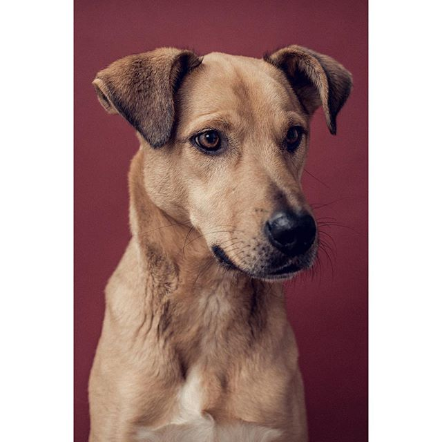 Ludo - - - - #dogsofinstagram #dog @dogphotographeroftheyear #rescuedog #rommy #romanianrescue #photoshop #tethertools #pixapro #lightroom #photooftheday #portrait #dogportrait #dogphotographylondon