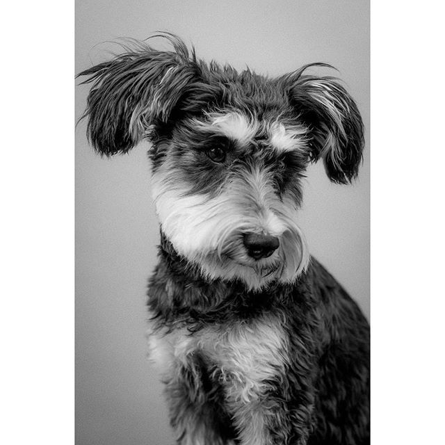 Fancy a 15% discount for a Mother's Day treat? Have a read of my new blog post (link in bio).... - - This is wonderful lady Poncho who came to my studio recently. What a gem. @taco_and_poncho @clmednick - - - - - #dogsofinstagram #dog #dogportrait #dogphotography #photooftheday #portrait #portraitphotography #portrait_vision #schnauzer #schnauzersofinstagram #schnauzerpuppy #lightroom #pixapro #photoshop #tethertools #nikon #mothersday