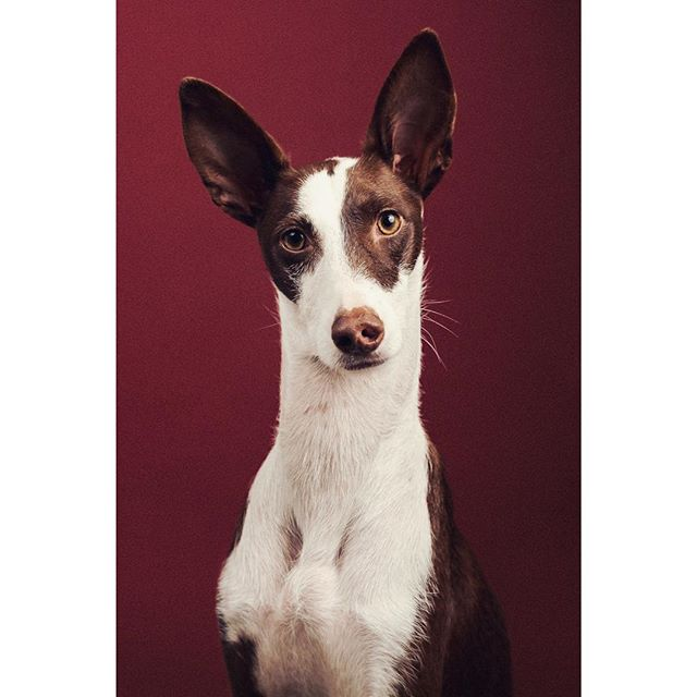 @kodak_the_pod (and family!) came to the studio this morning as part of my giveaway shoot posted last week. Kodak, a beautiful Podenco, and her new brother are a delight - thanks for coming 🥂 - - - - - - - #photooftheday #kodakmoments #adoptdontshop #portraitphotography #dogs #dog #dogsofinstagram #podenco #podencolove #instapodenco #rescuedog #portrait #dogportrait #dogphotography #dogphotographerlondon #lightroom #photoshop