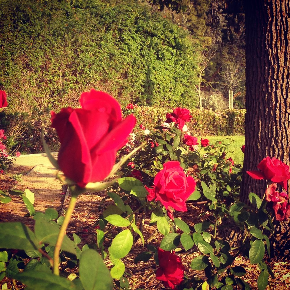 Roses in Culver City