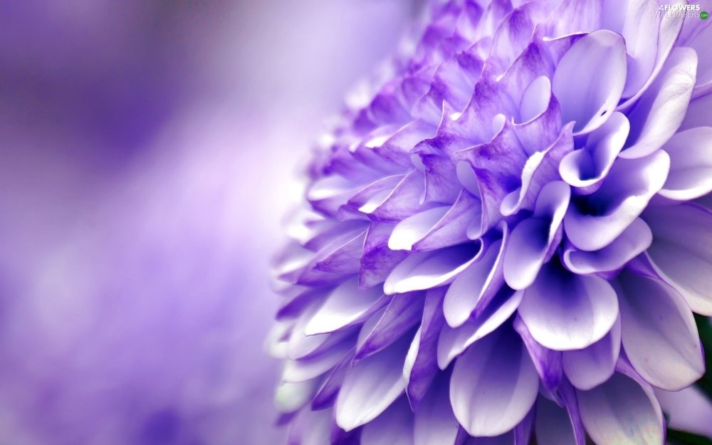 flowers-colourfull-chrysanthemum.jpg