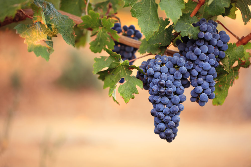 (9.11) Purple grapes hanging off vine.jpg