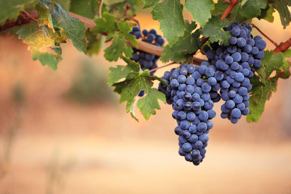 (9.11) Purple grapes hanging off vine.jpg