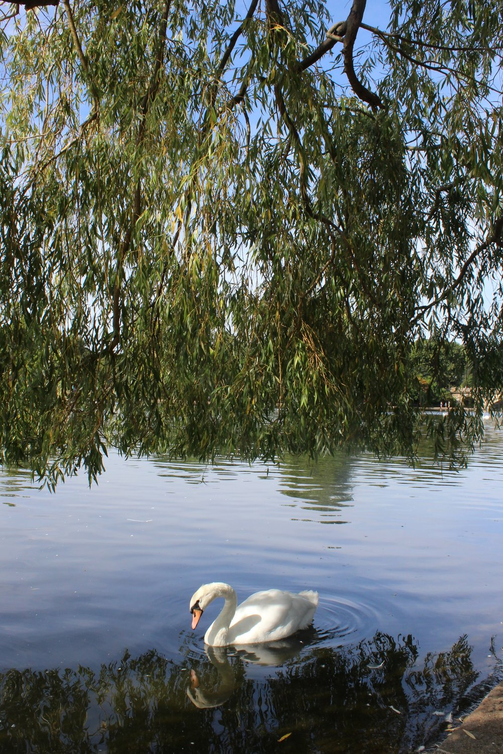 London Guide Swans, Hyde Park (2).JPG