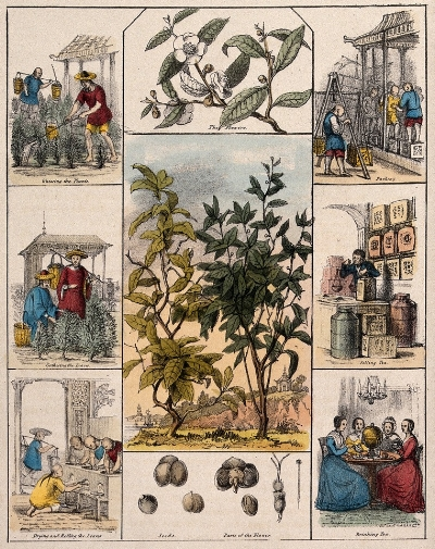 A tea plant (Camellia sinensis), its flowers and seeds, bordered by six scenes illustrating its use by man. Coloured lithograph, c. 1840.  One of a set of six prints showing economic plants and their uses, this illustration was produced at the time that the Assam experiment in tea-growing was just beginning. It shows tea cultivation, processing and packing as a purely Chinese process, geared to a market of British retailers and consumers. A group of genteel English ladies is shown tracing the distant roots of tea-production on a globe perched on their tea-table amidst the delicate China tea-service.  Credit: Wellcome Library no. 28058i