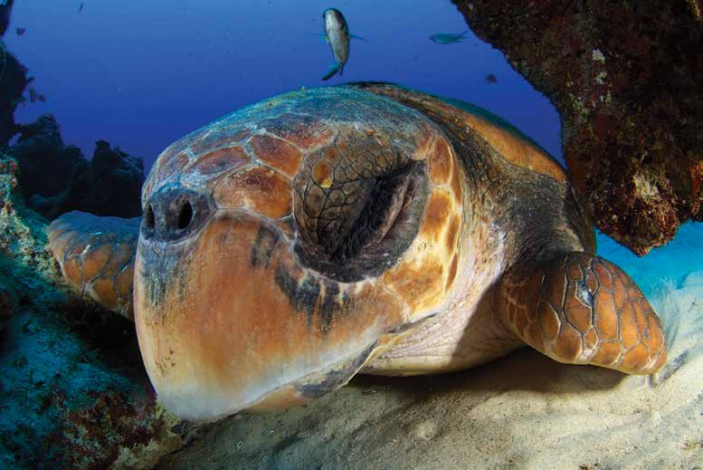A loggerhead turtle that has been seen for three consecutive years on the same reef patch off the shores of Amami-Oshima, Japan.© Katsuki Oki