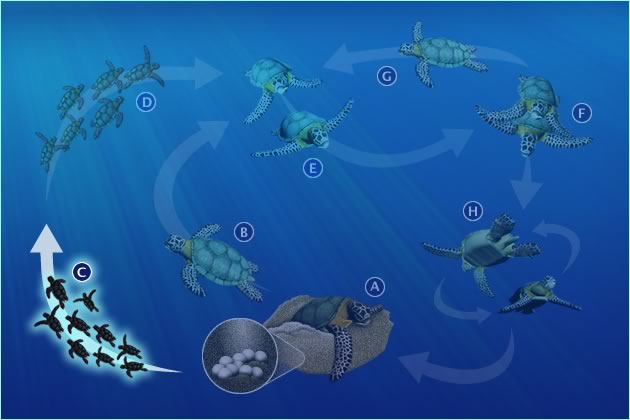 C. HATCHLINGS TO OCEAN AND EARLY YEARS IN OPEN OCEAN HABITAT