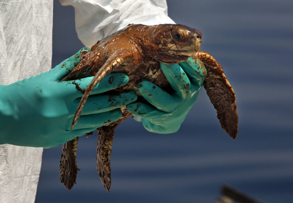 A juvenile sea turtle covered in oil. © Carolyn Cole