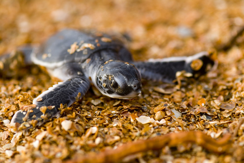 Hatchling green turtle © Roderic B. Mast