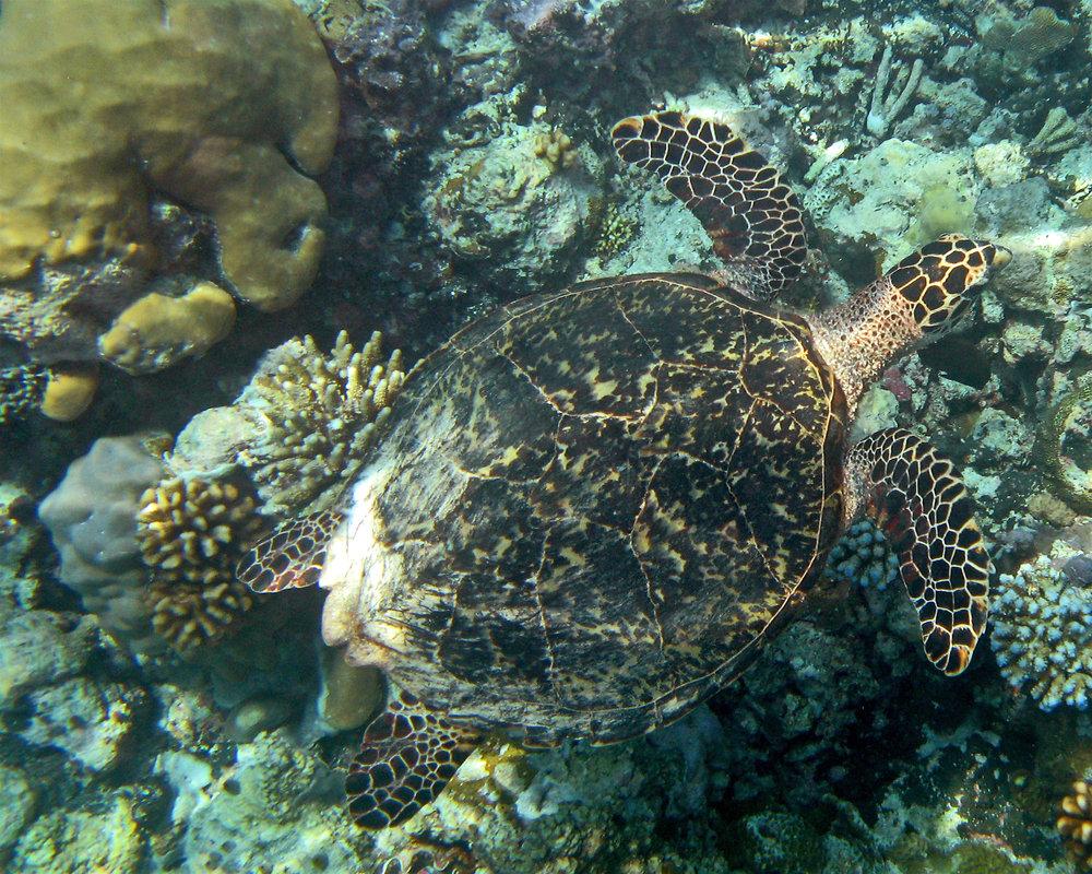 A hawksbill turtle in Palau. © Wayne Sentman
