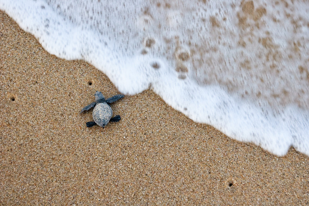 A hatchling olive ridley enters the sea in Baja California, Mexico. © Brian J. Hutchinson