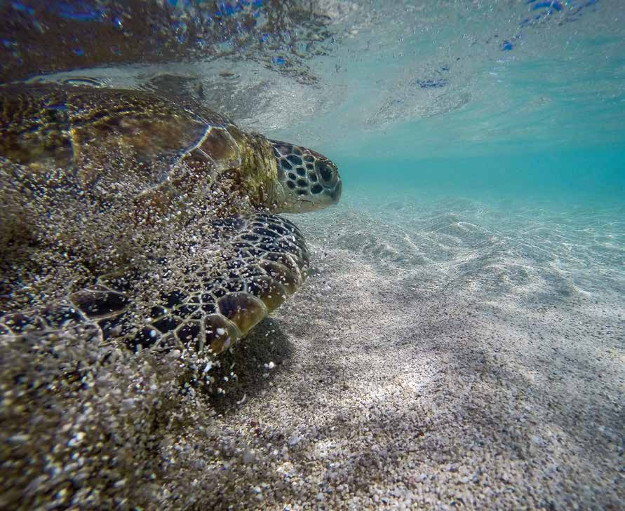 """A green turtle is released at Howick Island in Australia's Great Barrier Reef Marine Park after sampling for """"Rivers to Reef to Turtles"""" biomonitoring studies. © GÖKSEL DOGRUER / WWF-AUSTRALIA"""