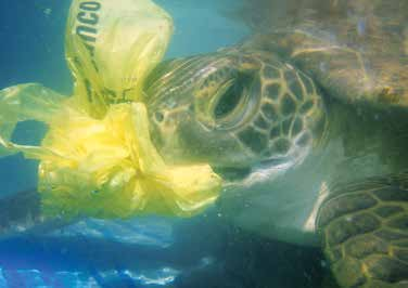 Plastic ingestion is now the leading cause of sea turtle strandings in Uruguay. © KARUMBÉ NGO