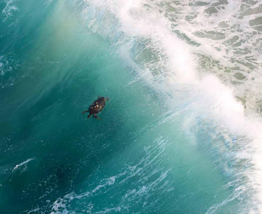 A black (green) turtle in the surf near Colola, Michoacán, Mexico. © CARLOS DELGADO-TREJO