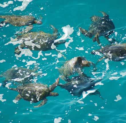 Black (green) turtles aggregate for mating off of Colola, Michoacán, Mexico. © CARLOS DELGADO-TREJO;