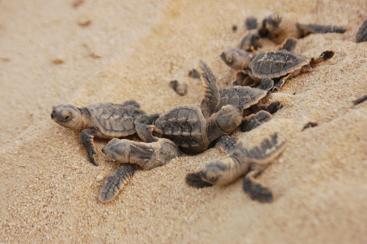Hawksbill hatchlings emerging from nest © Nicolas Pilcher