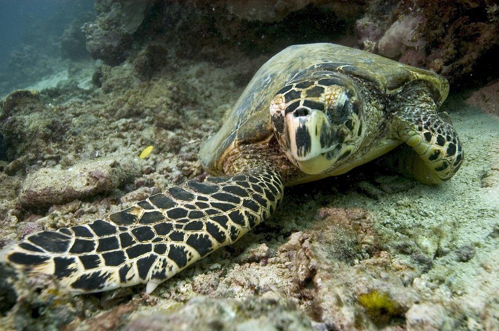 A hawksbill turtle on a reef © Nicolas Pilcher