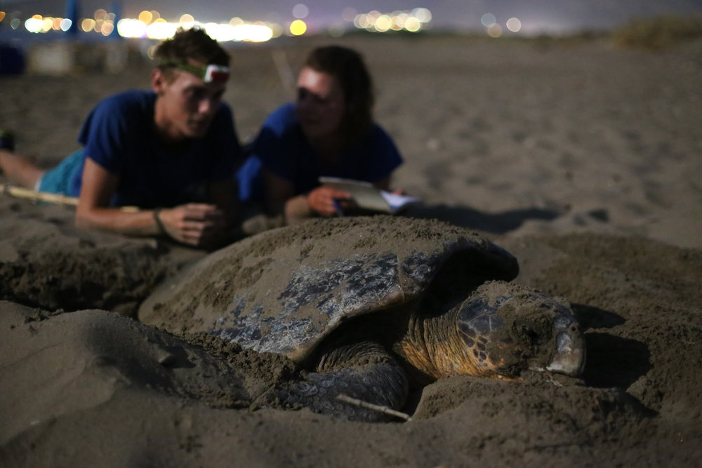 Field researchers observe a nesting loggerhead turtle in Greece. Photo taken during ARCHELON night survey. © Kostas Papafitsoros