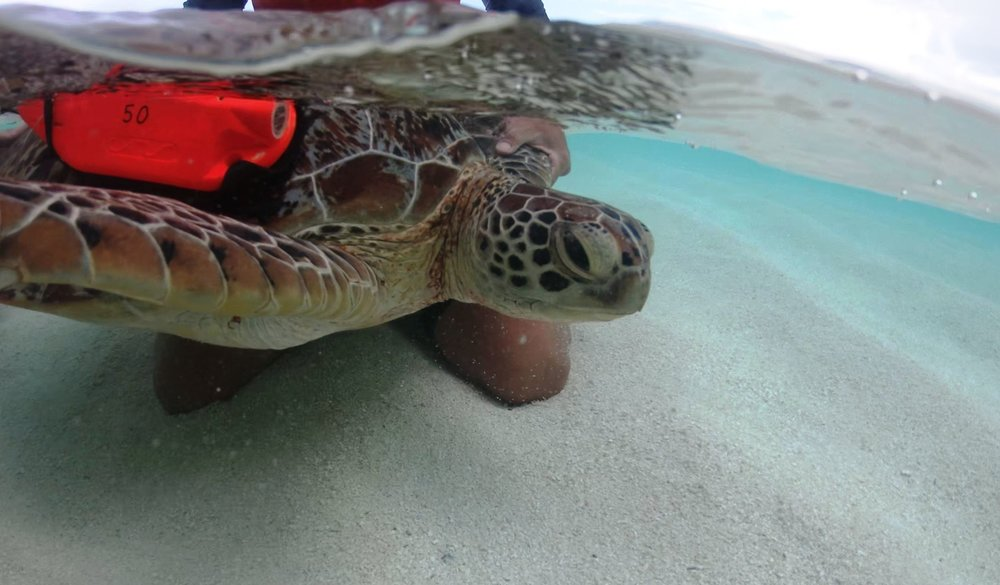 Researchers prepare to release a green turtle fitted with an underwater camera. © LAURE MONTCHAMP / AGENCE FRANÇAISE POUR LA BIODIVERSITÉ