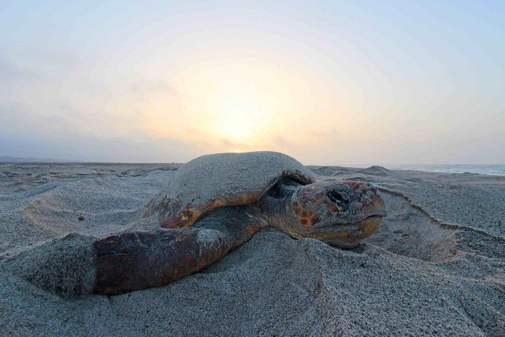 A loggerhead nests on Masirah Island, Oman. © JÉRÔME BOURJEA