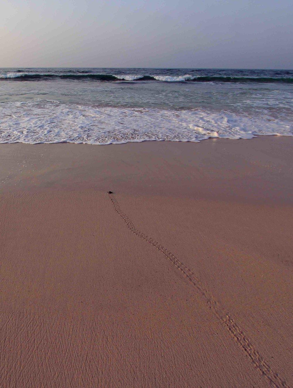 A loggerhead hatchling crawls toward the sea in Oman. © JÉRÔME BOURJEA;