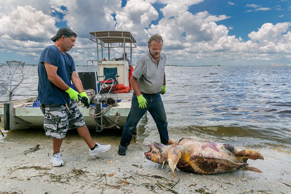 Workers prepare to pick up a dead loggerhead turtle in Sanibel, Florida, U.S.A., in August 2018. © GREG LOVETT /  PALM BEACH POST