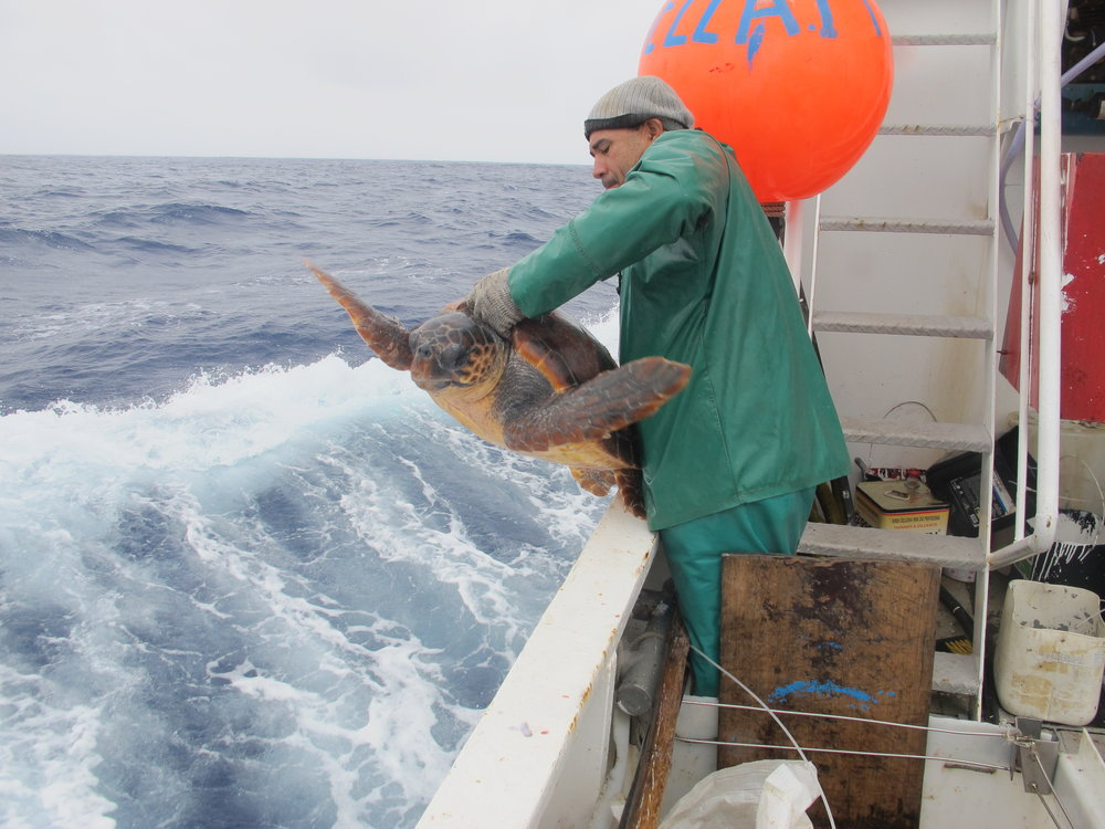A fisherman releases a loggerhead turtle that was caught on its flipper by a J-hook in Brazil. © PROJETO TAMAR