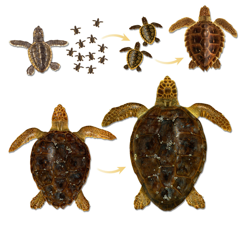 Common appearances of life stages of loggerhead sea turtles in the Atlantic. Shown upper left to upper right are hatchlings, surface pelagic neonates, and oceanic juvenile, and from lower left to lower right are neritic juvenile and adult female. © ILLUSTRATIONS BY DAWN WITHERINGTON