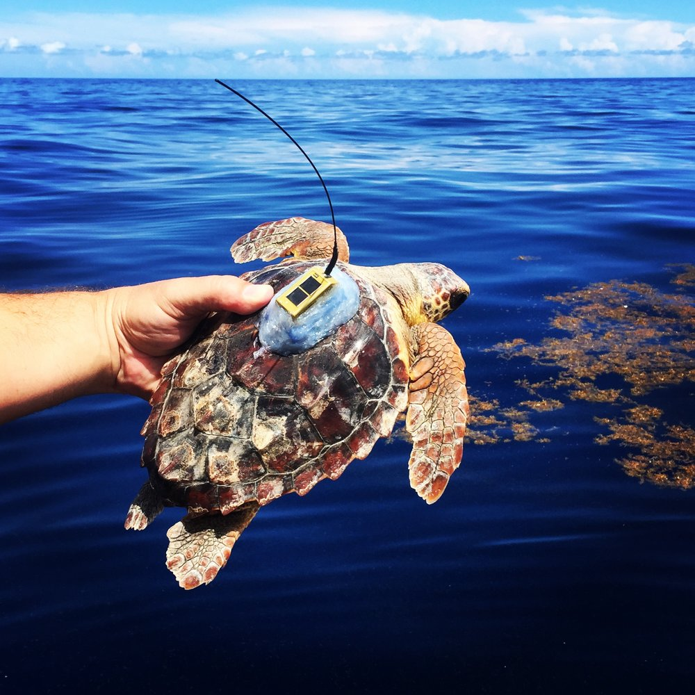 A juvenile loggerhead fitted with a satellite transmitter is about to be released. Only recently has technology made it possible to satellite-tag such small turtles. © KATE L. MANSFIELD