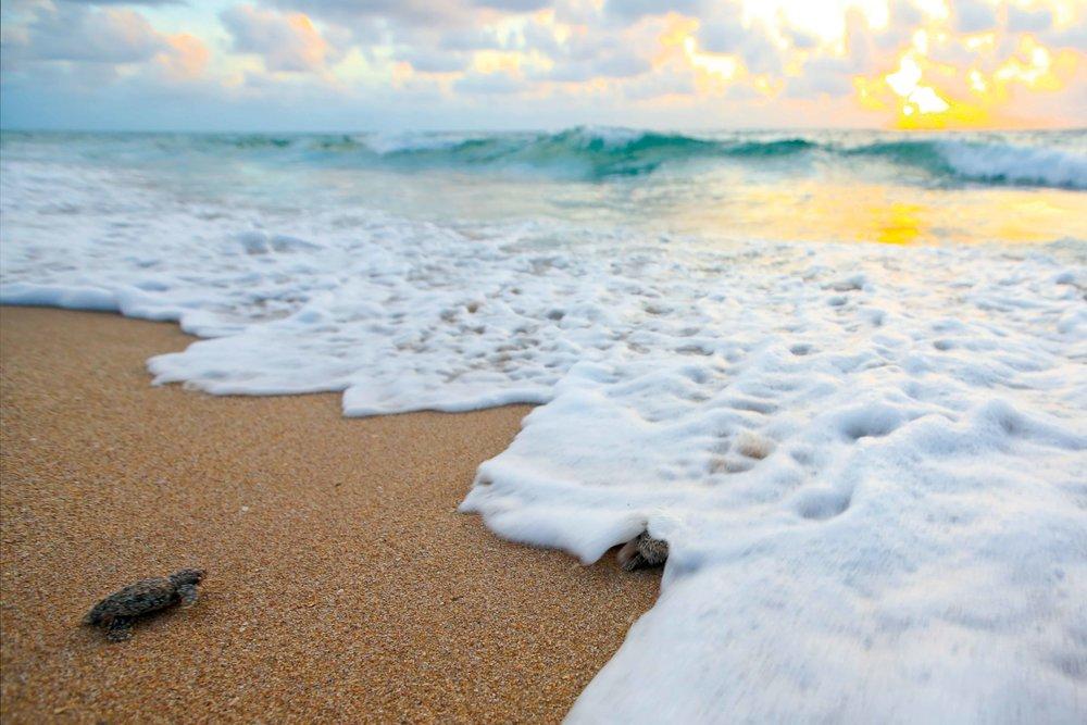 Newly hatched loggerheads enter the Atlantic Ocean on the coast of Florida, U.S.A. © BENJHICKS.COM