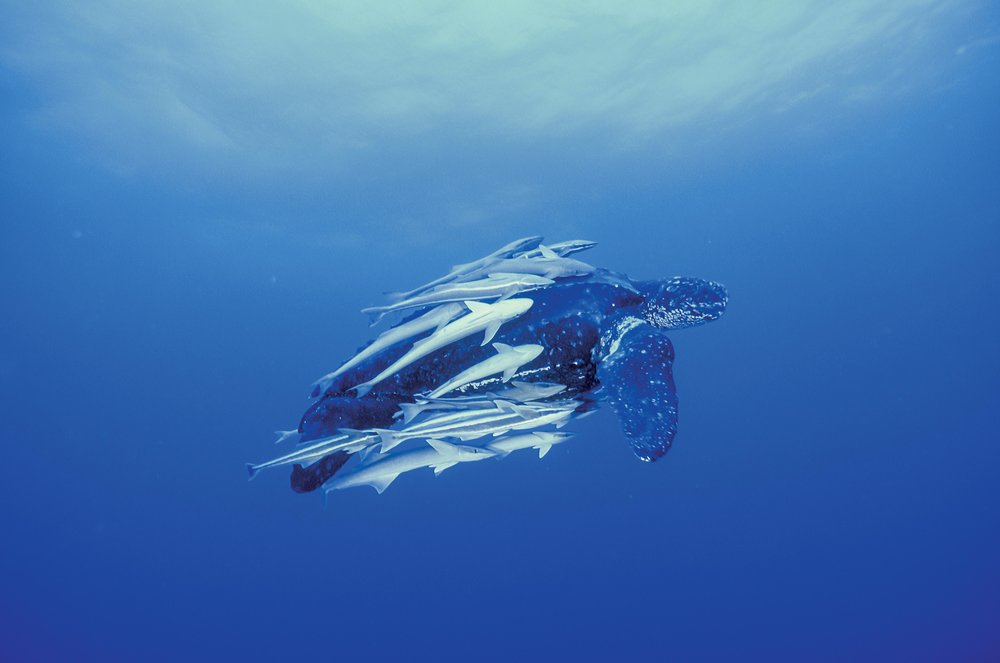 A leatherback turtle, pursued by remoras, swims offshore of Juno Beach, Florida, U.S.A. © MICHAEL PATRICK O'NEILL